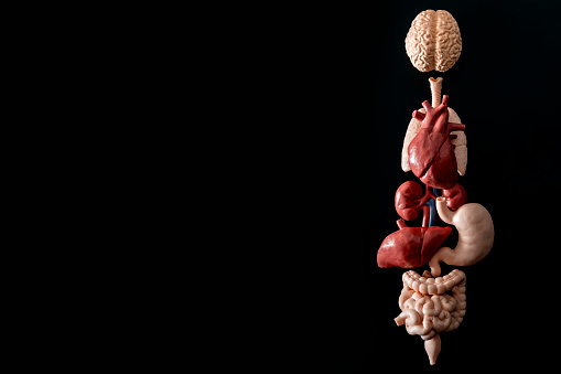 Human anatomy, organ transplant and medical science concept with a collage of human organs in anatomically correct position like brain, heart, liver, etc, isolated on black background with copyspace 1088891582