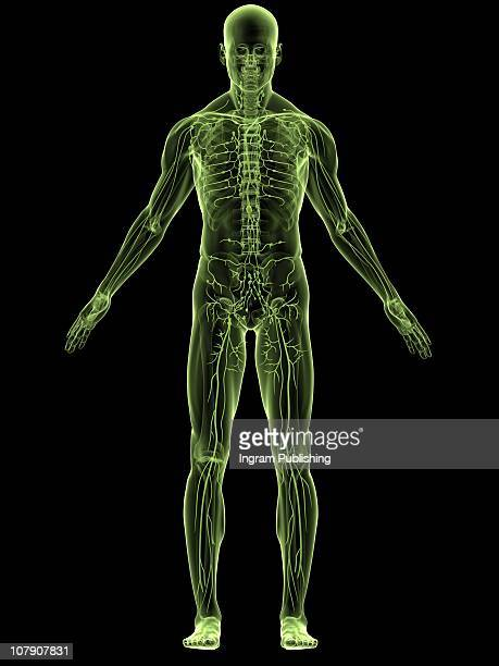 human anatomy - blood flow stock pictures, royalty-free photos & images