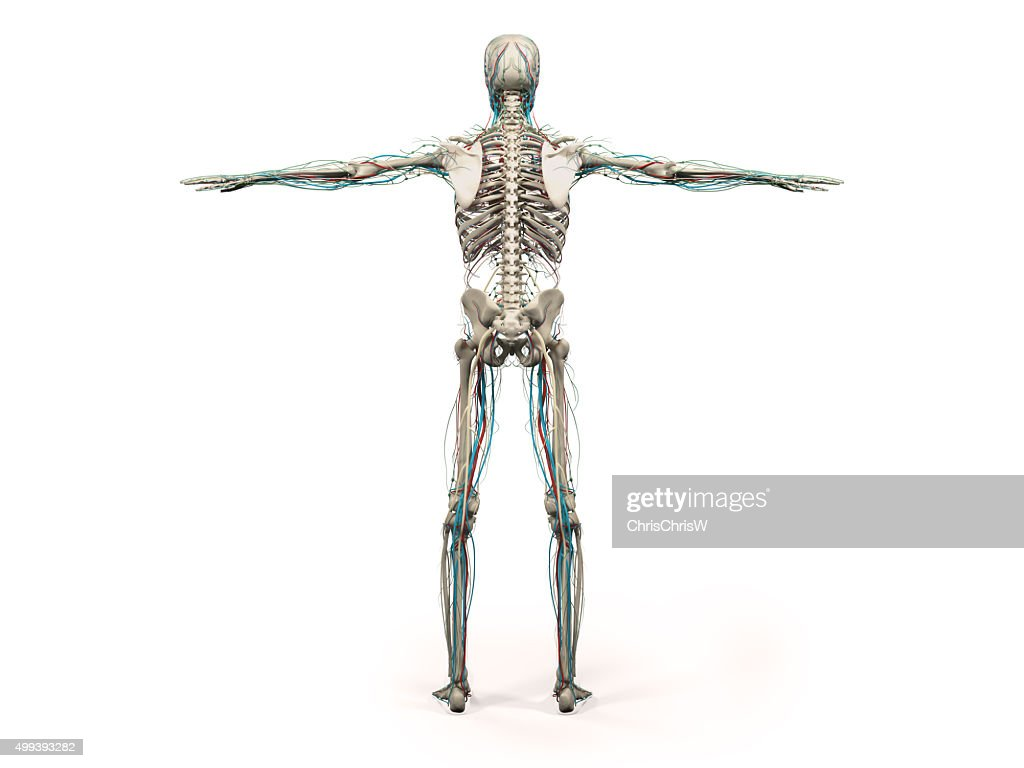 Human Anatomy Showing Back Full Body Stock Photo Getty Images