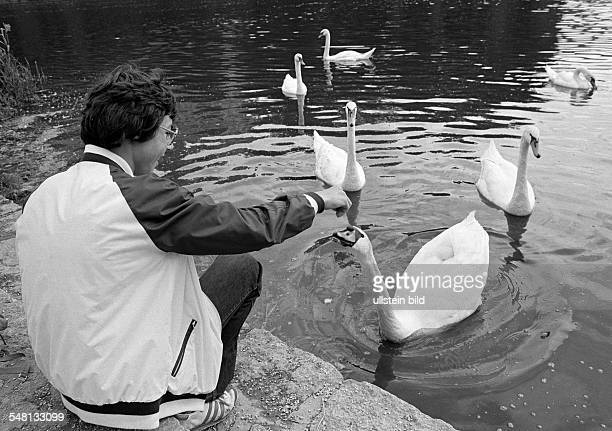 human and animal boy feeds swans on a lake aged 14 to 17 years Mute swan Cygnus olor