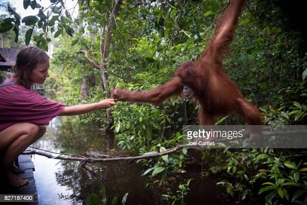 Human and orangutan interacting at Tanjung Puting National Park, Borneo