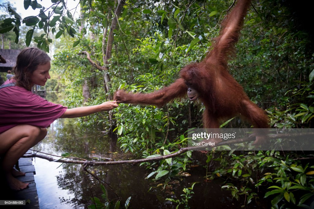 Human and orangutan interacting at Tanjung Puting National Park, Borneo : Stock Photo