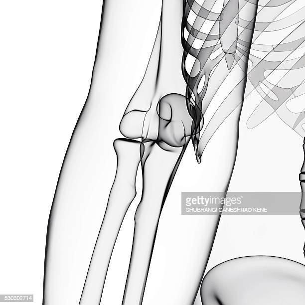 Human arm bones, computer artwork.
