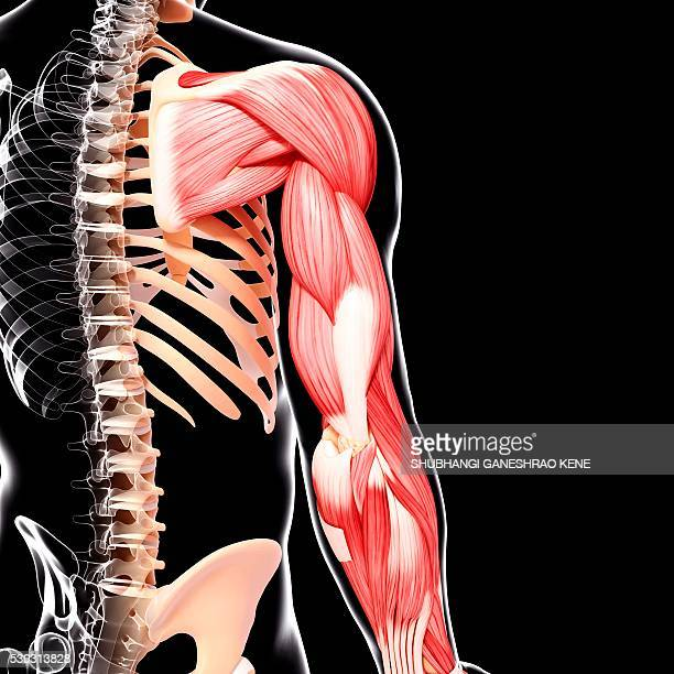 human arm musculature, computer artwork. - tendon stock pictures, royalty-free photos & images