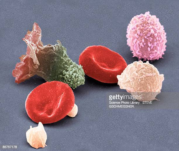 Human blood cells, colored scanning electron micrograph