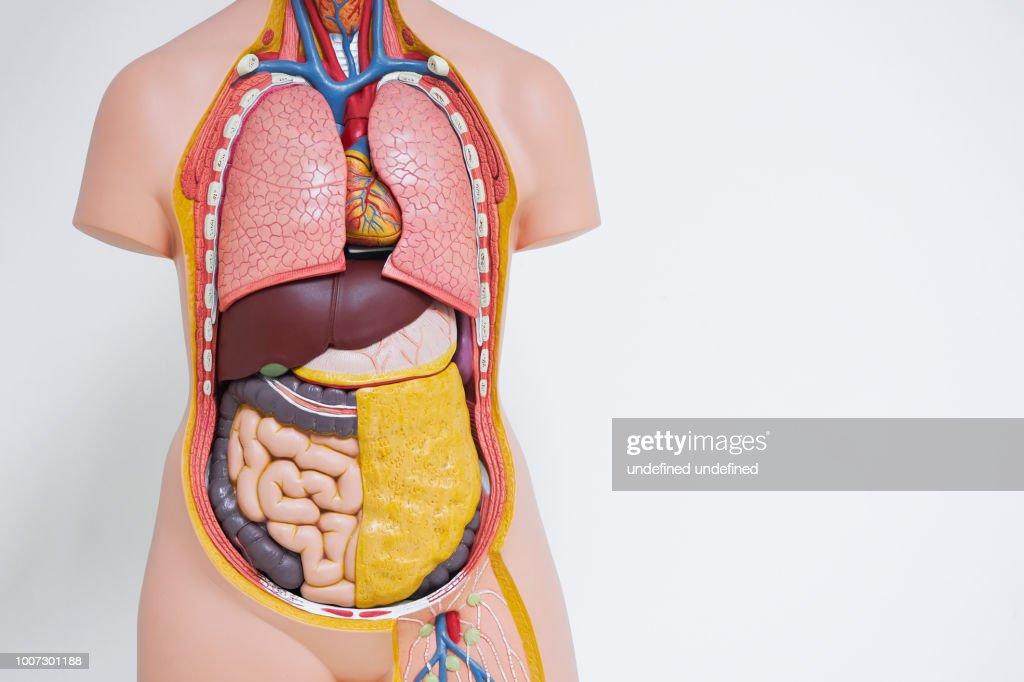 Menselijk lichaam anatomisch model in het kantoor : Stockfoto