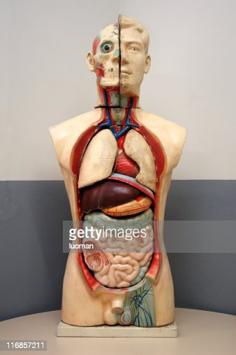 Human Body Doll Used In High School Stock Photo Getty Images