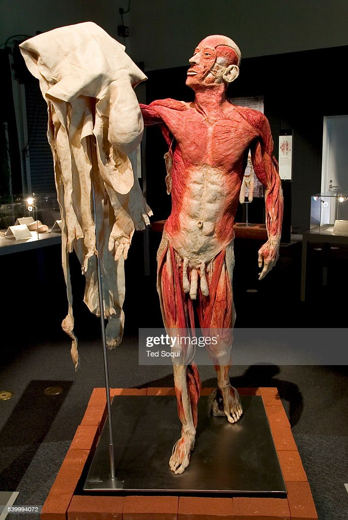 The Anatomical Exhibition Of Real Human Bodies Stock Photos And