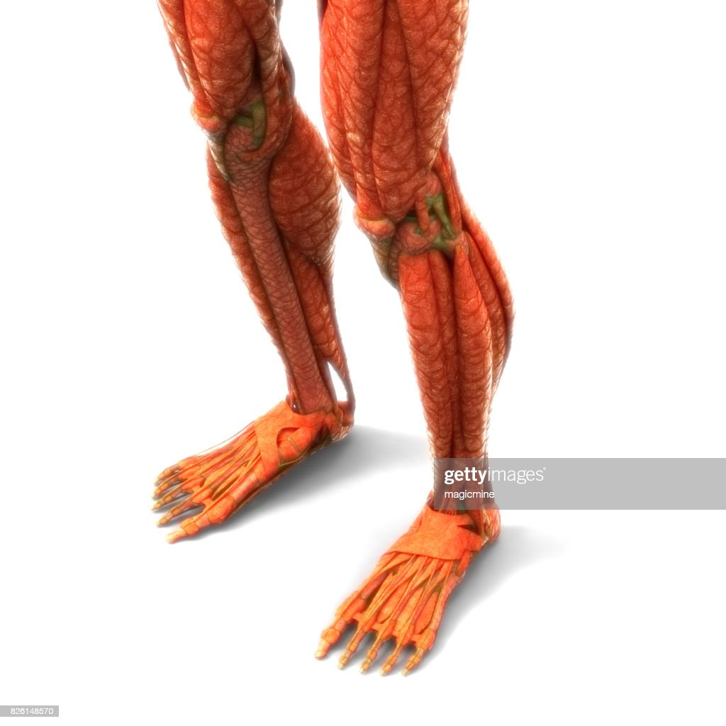 Human Body Muscles Anatomy Stock Photo Getty Images