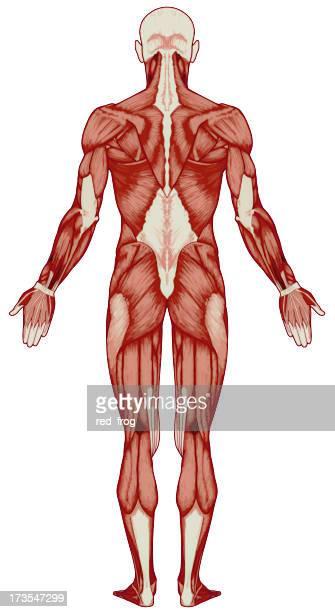 human body, muscles (bitmap) - autopsy stockfoto's en -beelden