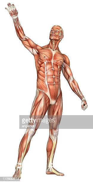 Human body of a man with muscles