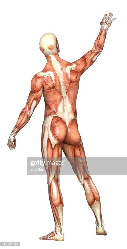 Menschlichen Körper Eines Mannes Mit Muskeln Stock-Foto | Getty Images