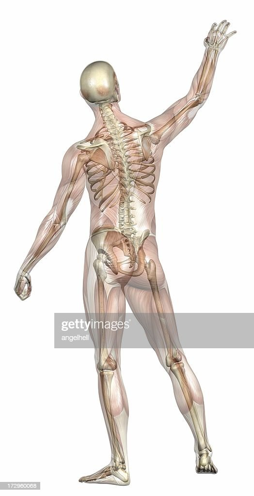 Human Body Of A Man With Transparent Muscles And Skeleton Stock