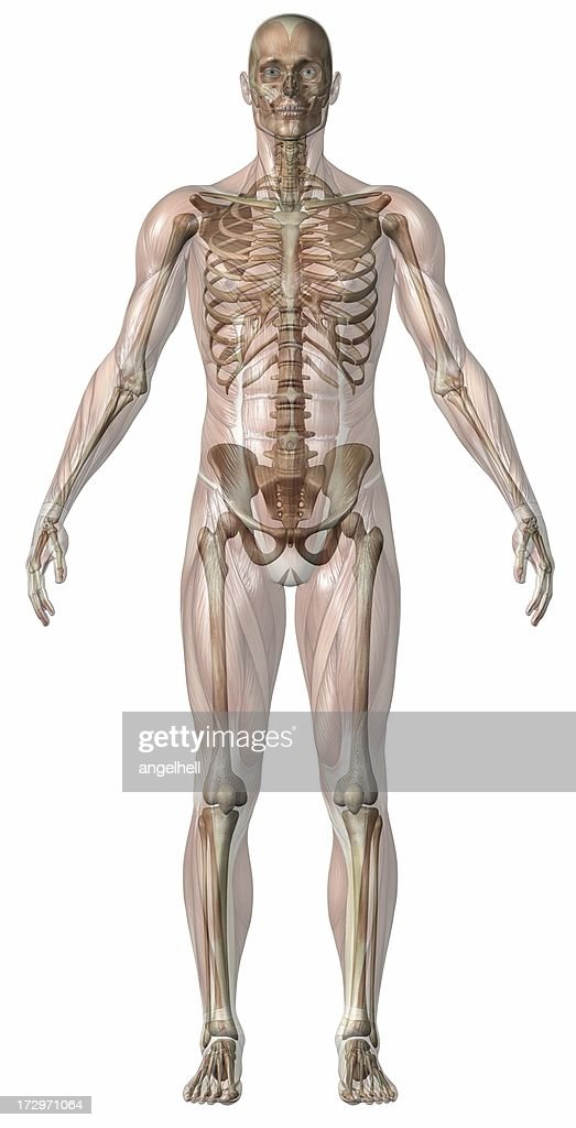 Human Body Of A Man With Transparent Muscles And Skeleton Stock ...