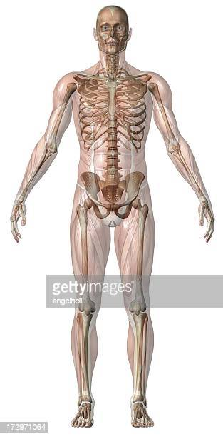 Human body of a man with transparent muscles and skeleton