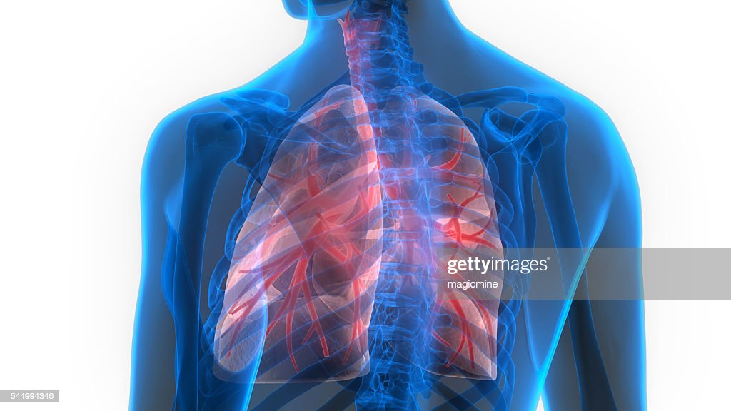 Human Body Organs 3d Stock Photo Getty Images