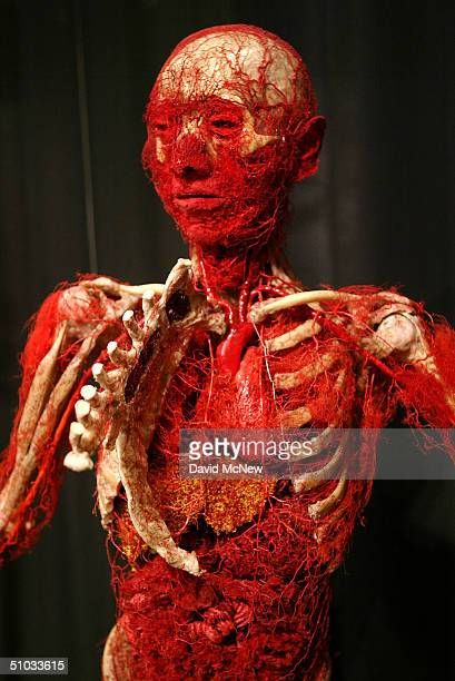 A human body with an opened rib cage shows its arterial vascular system along with ligaments and bones at the Body Worlds The Anatomical Exhibition...