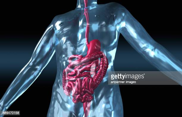 human body with digestive system - human digestive system ストックフォトと画像