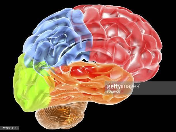 Human brain anatomy, artwork