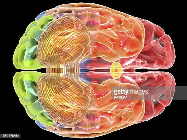 human brain anatomy, artwork - eeg stock pictures, royalty-free photos & images