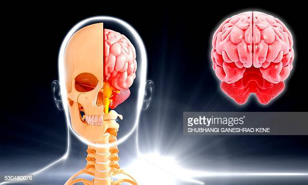 human brain anatomy, computer artwork. - cerebrum stock pictures, royalty-free photos & images