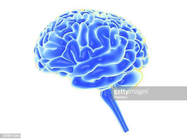 human brain, artwork - brain stem stock photos and pictures