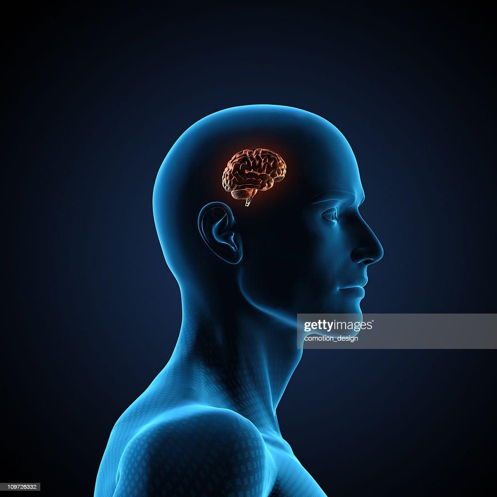 Human Brain : Stock Photo