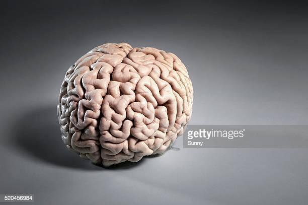 human brain - cerebro humano fotografías e imágenes de stock