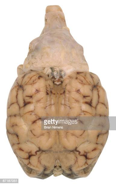 human brain (clipping paths included) - cerebrum stock photos and pictures