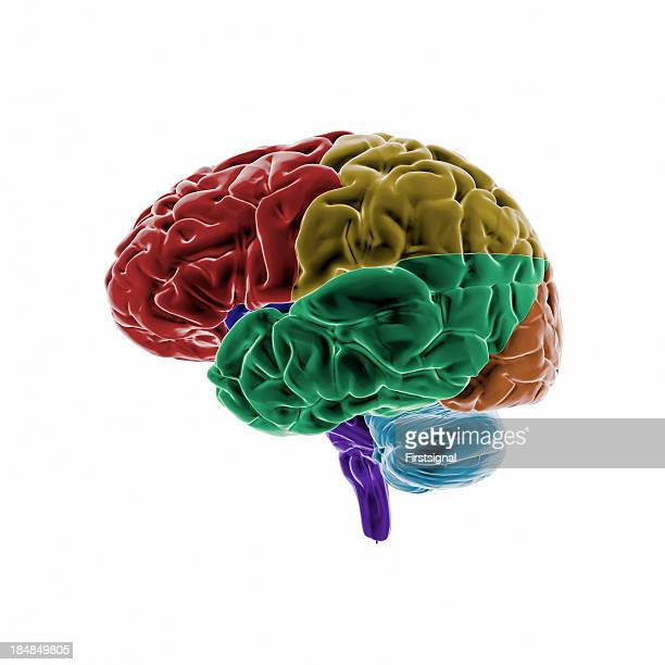 Human Brain with colored regions