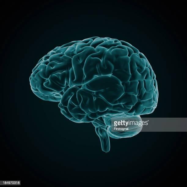 人間の脳の X 線スタイル