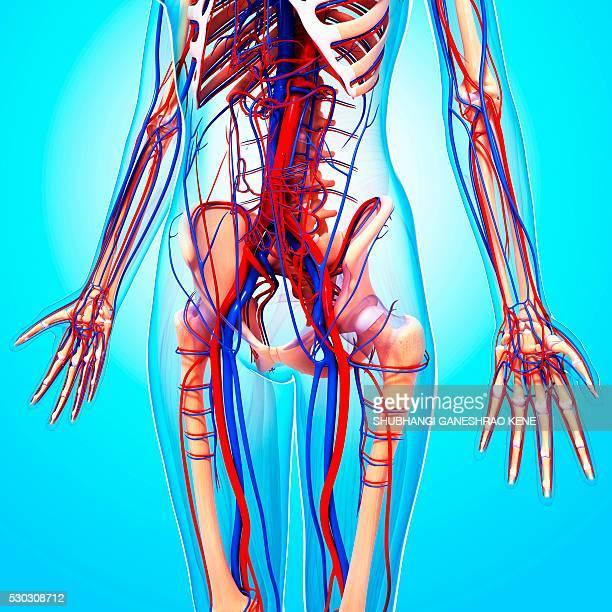 human cardiovascular system, computer artwork. - human artery stock photos and pictures