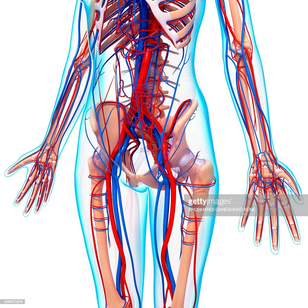 Human Cardiovascular System Computer Artwork Stock Photo Getty Images