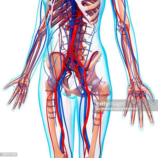 human cardiovascular system, computer artwork. - human artery stock photos and pictures