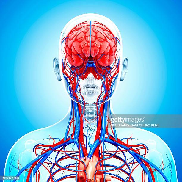 human cardiovascular system, computer artwork. - cerebrum stock pictures, royalty-free photos & images