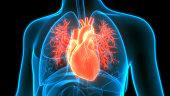 Human Circulatory System Heart Anatomy