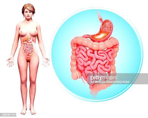 human digestive system, computer artwork. - intestino umano foto e immagini stock
