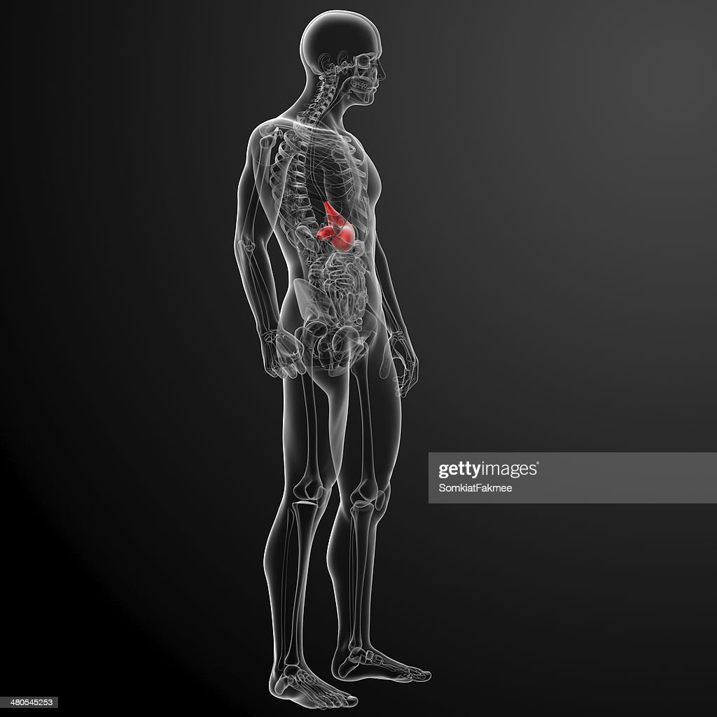 Human digestive system stomach : Stock Photo