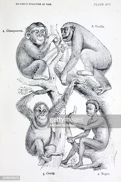 Human evolution as from The Evolution of Man by German evolutionary biologist Ernst Heinrich Philipp August Haeckel a follower of Darwin Shows an...