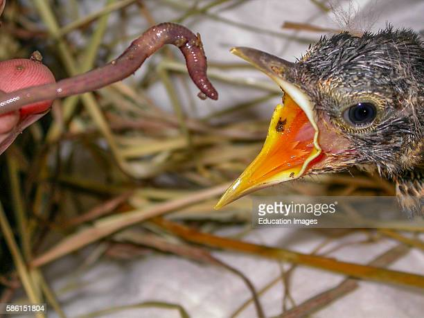Human feeding a earthworm to a nesting young bird with its mouth wide open