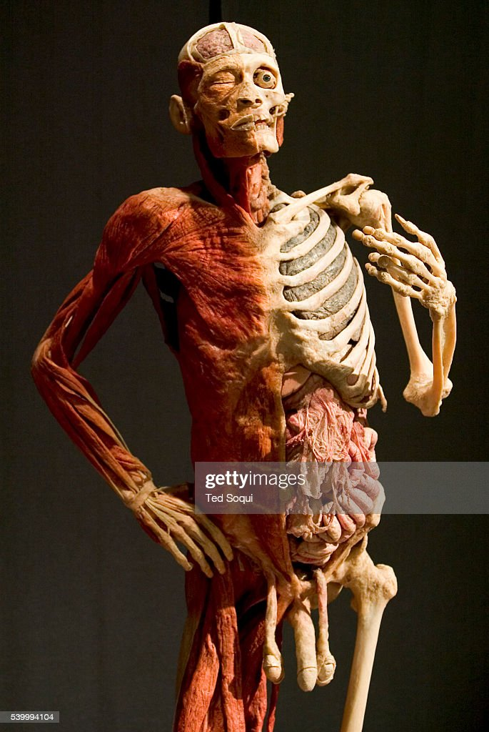 Body Worlds The Anatomical Exhibition Of Real Human Bodies
