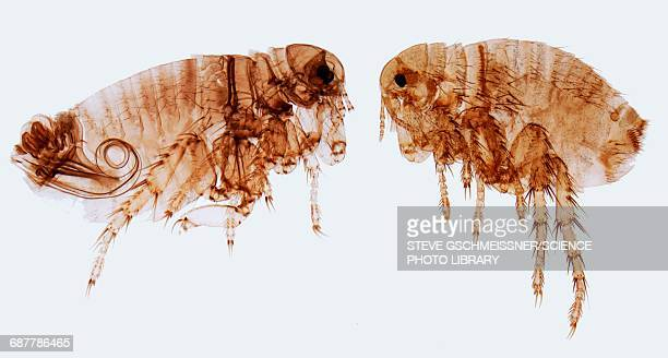 human fleas, lm - zoology stock pictures, royalty-free photos & images