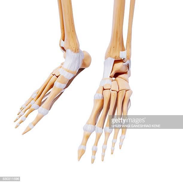 human foot bones, computer artwork. - foot bone stock pictures, royalty-free photos & images