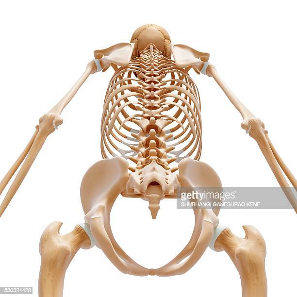 Human Skeleton Foot Stock Photos And Pictures Getty Images
