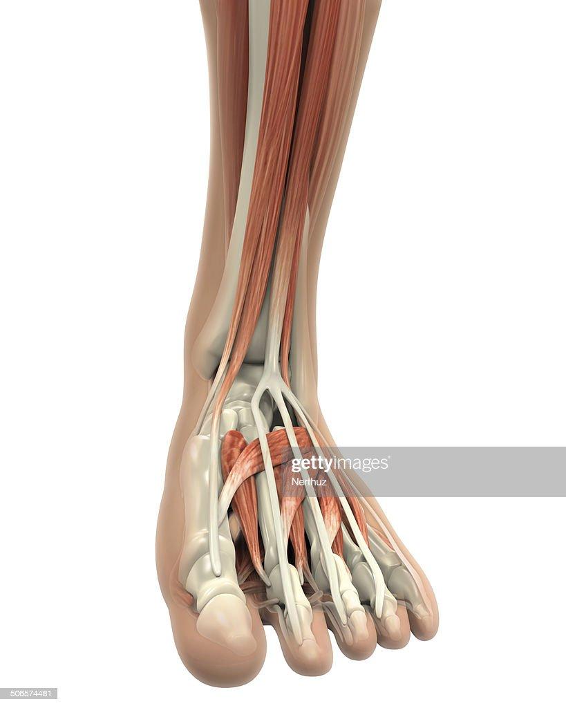 Menschliches Bein Muskeln Anatomie Stock-Foto | Getty Images