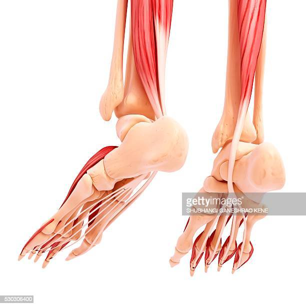 human foot musculature, computer artwork. - achilles tendon stock pictures, royalty-free photos & images