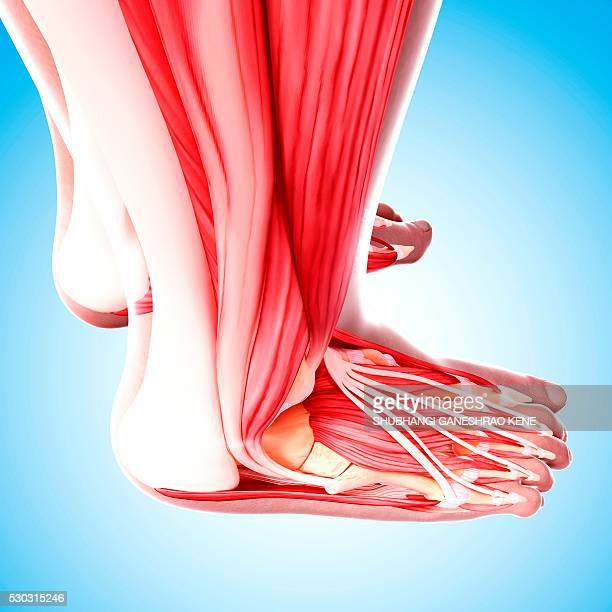 human foot musculature, computer artwork. - tibialis anterior muscle stock pictures, royalty-free photos & images
