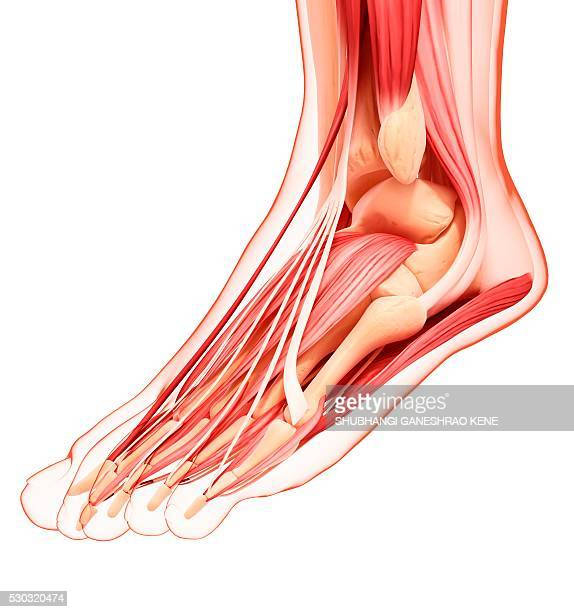 human foot musculature, computer artwork. - gastrocnemius stock pictures, royalty-free photos & images