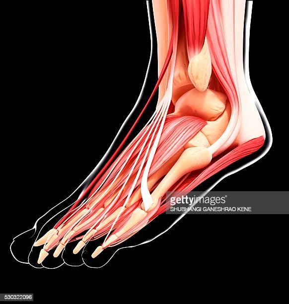 human foot musculature, computer artwork. - fibularis longus muscle stock pictures, royalty-free photos & images