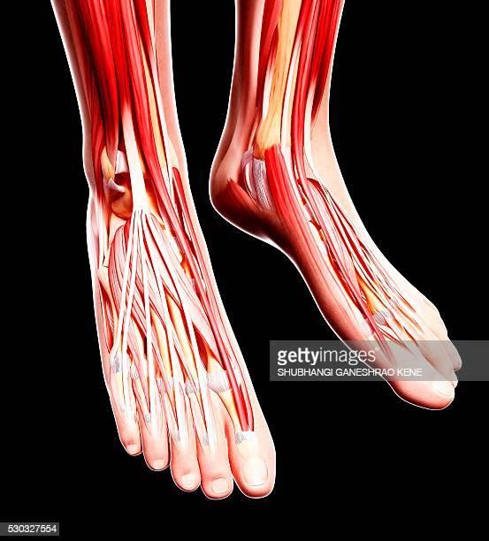 human foot musculature, computer artwork. - fibularis longus muscle stock photos and pictures